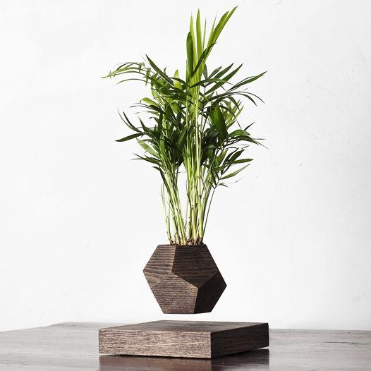 Левитирующее растение Wood Хамедорея венге