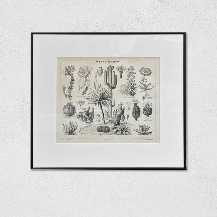 Литография, кактусы (оригинал, начало ХХ века)